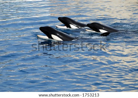 three killers whales - stock photo