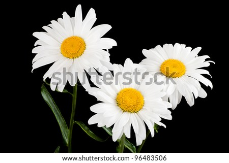 Three large daisy isolated on a black background - stock photo