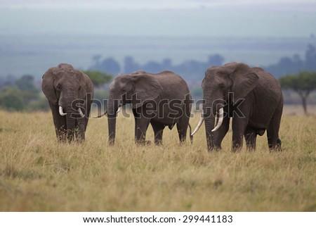 Three Large elephants walking - stock photo
