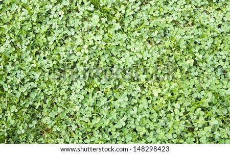 three leaf clover growing on the lawn - stock photo