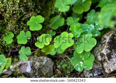 Three leaf clovers closeup in mountains - stock photo