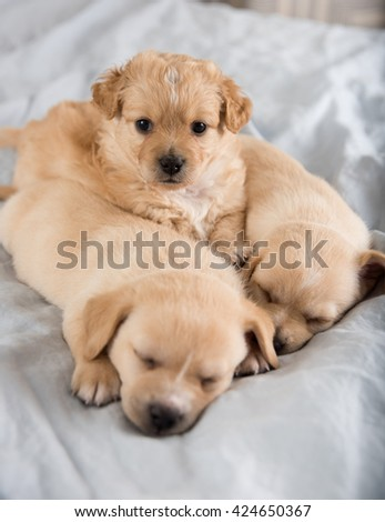 Three Light Colored Mixed Breed Puppies Sleeping on Bed - stock photo