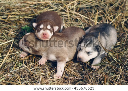 Three little husky puppies sleeping on the hay. Cute baby dogs in the grass. Animal breeding on the farm. Northern breed dogs. Malamute and husky. - stock photo