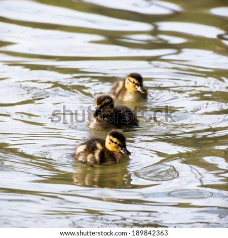 Three little mallard ducklings in the water. - stock photo
