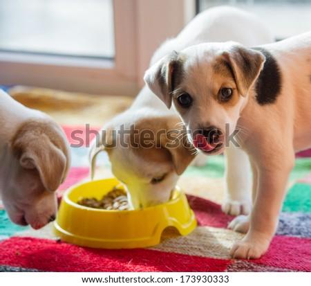 three little puppy eat indoors  - stock photo