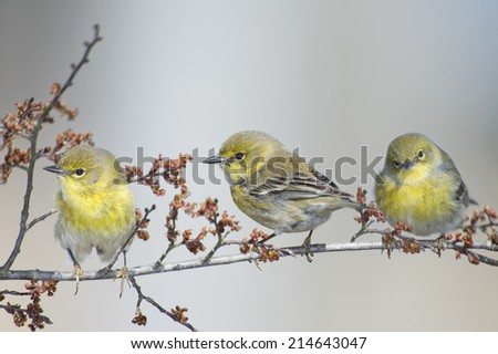 Three Little Warblers - stock photo