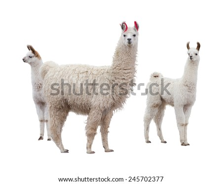 Three llamas on the side of white background - stock photo