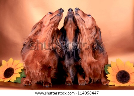 Three long-haired dachshund on the gold background - stock photo