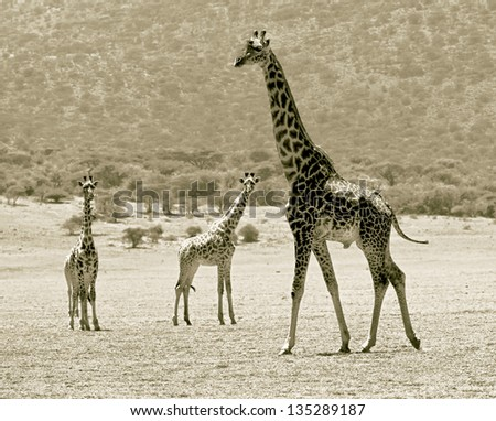 Three maasai giraffes in Crater Ngorongoro National Park - Tanzania (stylized retro) - stock photo