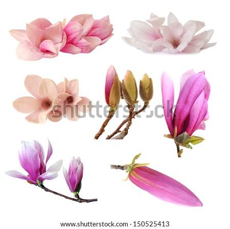 three magnolia flowers isolated on white - stock photo