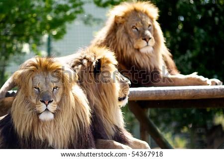 Three male lions - stock photo