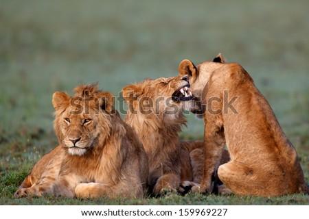 Three Marsh Pride Lions in Masai Mara, Kenya - stock photo