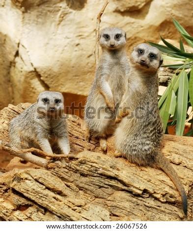three meerkats - stock photo