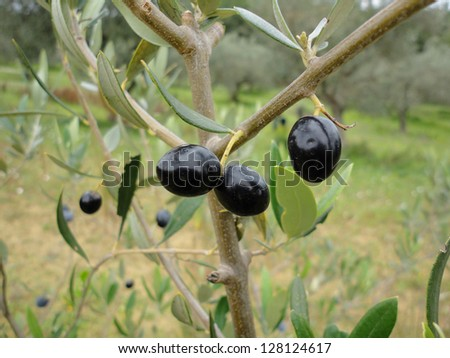 three mellow black olive fruits on branch - stock photo