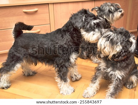 three miniature black and silver schnauzer dogs playing indoor - stock photo
