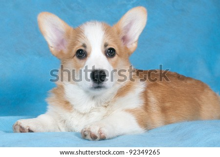 Three-month puppy of a Cardigan Welsh Corgi in studio on blue background - stock photo