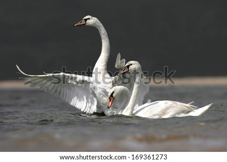 Three mute swans in a lake - stock photo