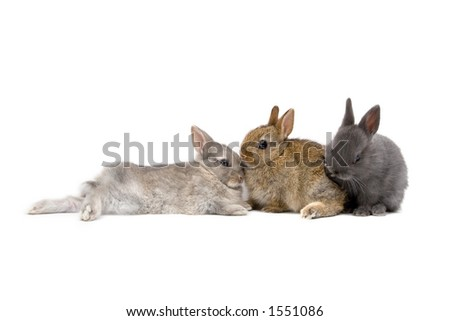 Three Netherland Dwarf bunnies on white background - stock photo
