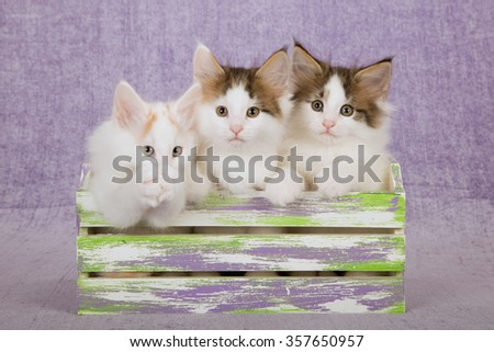 Three Norwegian Forest Cat kittens sitting inside slatted wooden box on light purple background  - stock photo