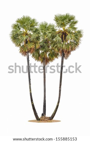 three  of borassus flabellifer ( asian palmyra palm, toddy palm, sugar palm, or cambodian palm) tropical tree, isolated on white background - stock photo