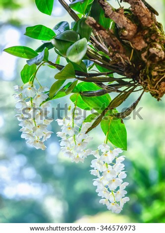 Three Orchid pots hanging on the roots, stems and leaves growing from the trunk sores create beauty to this wild orchids blooming in the spring when the festival in Vietnam - stock photo