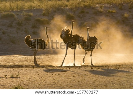 Three ostriches in the Kalahari with dust backlit late afternoon - stock photo