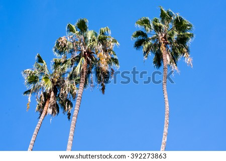 Three palm trees standing alone with a beautiful blue sky and no clouds.   - stock photo