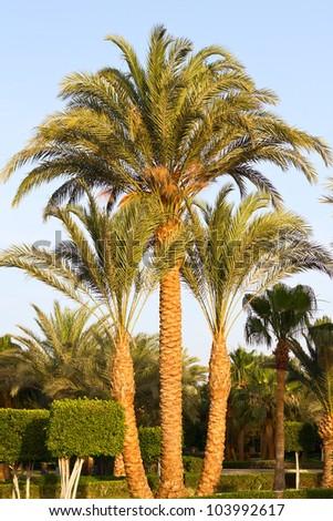 three palms - stock photo