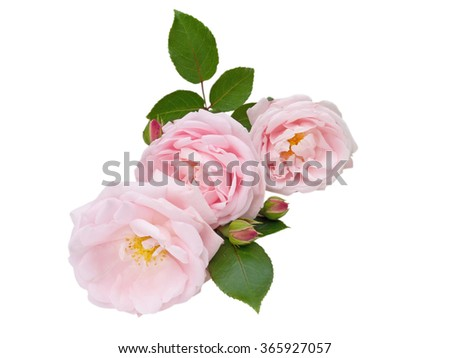 Three pastel pink rose flowers and buds isolated on white - stock photo