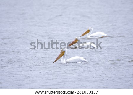 Three pelicans in a row floating in the water - stock photo