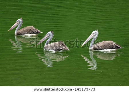 Three pelicans on the water. - stock photo