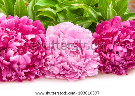 three peonies isolated on white - stock photo