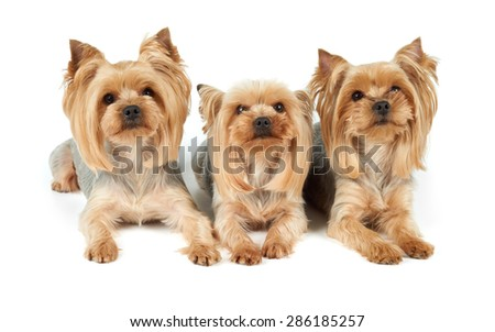 Three perfectly groomed Yorkshire Terriers isolated over white                                - stock photo