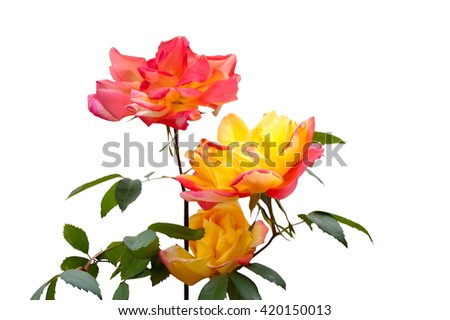 Three pink and yellow roses isolated on white background - stock photo