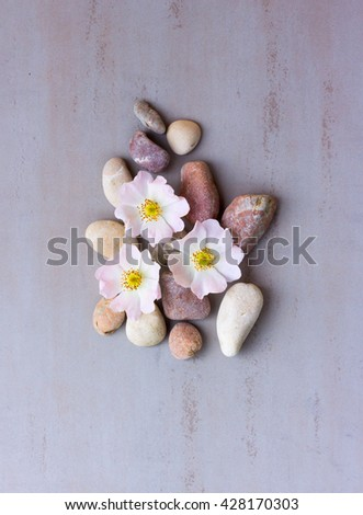 three pink flower wild rose on pebbles on a gray background. Spa stones treatment scene, zen like concepts. Flat lay, top view - stock photo