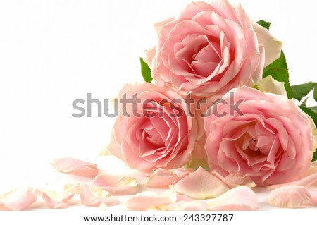 Three pink roses with petals - stock photo