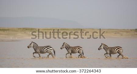 Three plains Zebra running through water, hidden valley, Serengeti - stock photo