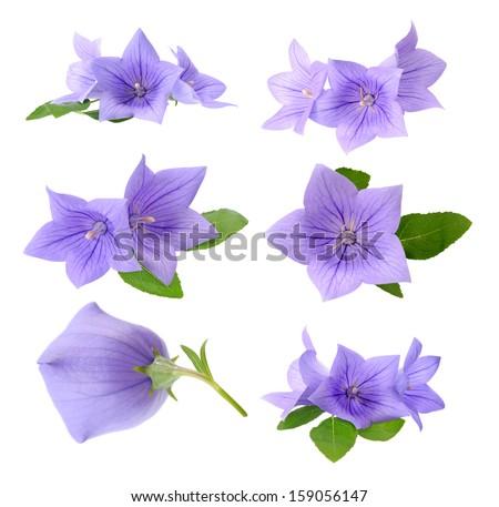 Three Platycodon grandiflorus flowers isolated on white background  - stock photo