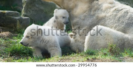 Three polar bears - mother and two kids - stock photo