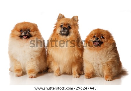 Three Pomeranian Spitzes isolated on white - stock photo