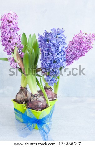 Three potted hyacinth, tied blue bow on a white wooden background, vertical frame - stock photo