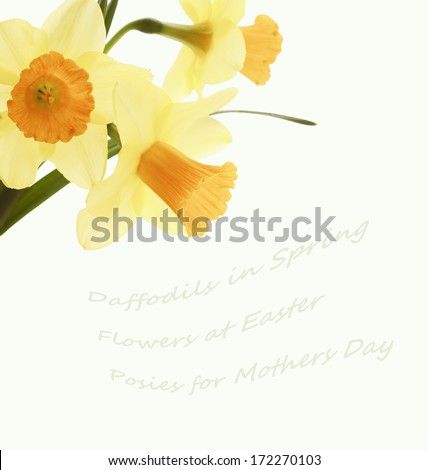 Three Pretty Yellow Daffodils Isolated on White Background with blank or empty space or room for copy, text, or your words. Vintage treatment for subdued, antique look. - stock photo