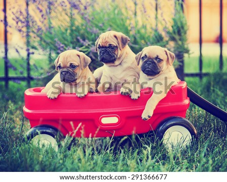 Three  pug chihuahua mix - chug-  puppies  in a red wagon toned with a retro vintage instagram filter effect app or action - stock photo