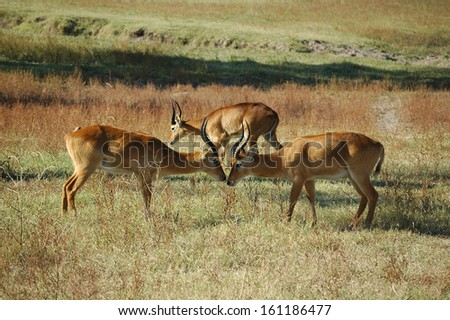 Three puku in South Luangwa National Park - stock photo