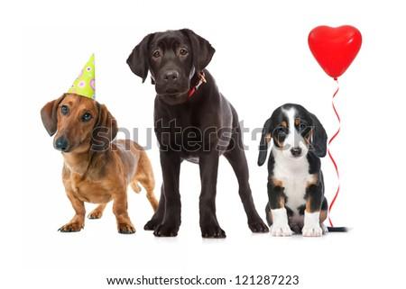 three puppies celebrating a birthday on white background - stock photo