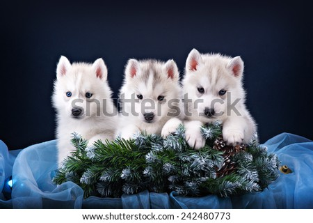 Three puppies husky and spruce wreath - stock photo