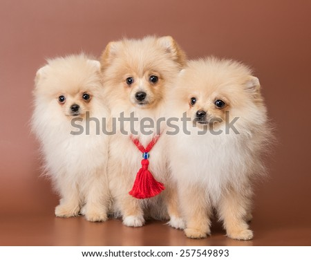 Three puppies of breed a Pomeranian spitz-dog in studio on a neutral background - stock photo