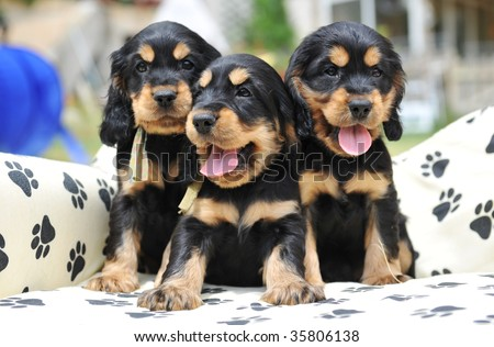 three puppies purebred cocker spaniel on a little sofa - stock photo