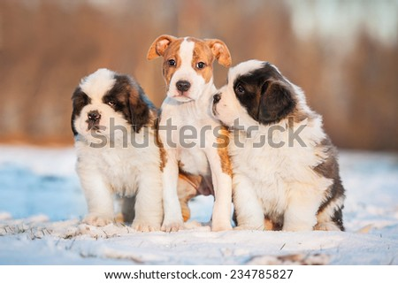 Three puppies sitting on the snow in winter - stock photo