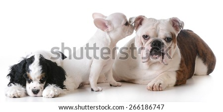 three purebred puppies  together on white background - stock photo